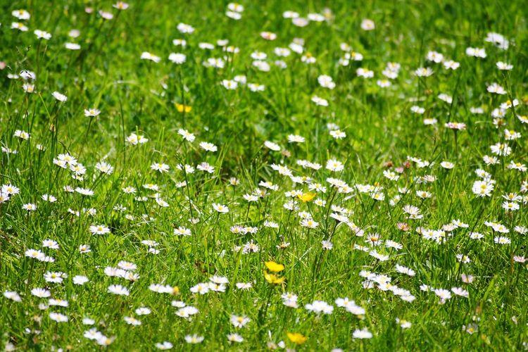 Full frame shot of white flowering plants on field