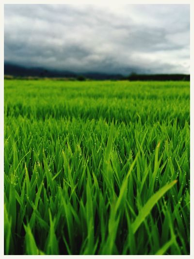 Field Growth Agriculture Green Color Rural Scene Farm Crop  Tranquil Scene Sky Nature Landscape Tranquility Beauty In Nature Cereal Plant No People Scenics Grass Outdoors Day Wheat IPhone SE