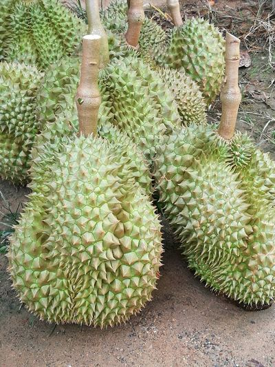 Durian Green Color Growth Plant Nature Close-up Fruits And Vegetables Food Eat