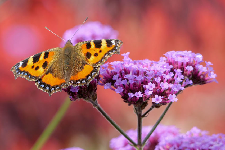 Butterfly Small Tortoiseshell Nature Beauty In Nature Insect Purple Flower Verbena Bonariensis Flower Head Outdoors Close-up Macro Photography Nature Photography Colourful Feeding  Sitting Flowering Plant