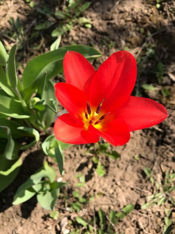 Flower Red Petal Beauty In Nature Nature Fragility Flower Head Freshness Growth Spring Is Coming  Plant Blooming Spring Plum Blossom Nature Freshness Beauty In Nature Sunlight Growth Plant No People Day Close-up Outdoors Field