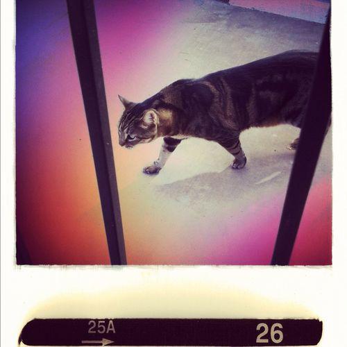 Cat at Henderson NV Cat