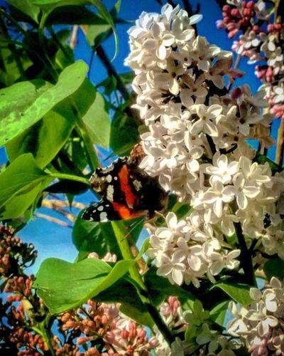 Salento Ortelle Nature Natura Campagna Fiore Fiori Puglia Italia Italy Flower Flowers Farfalla Farfalle Butterfly
