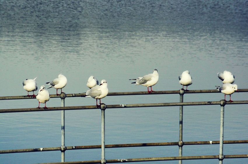 Bird Animals In The Wild White Color Animal Themes Animal Wildlife Perching No People Outdoors Large Group Of Animals Beauty In Nature Day Nature Flock Of Gulls Black Headed Gull Gulls Gull Landscape Ogden Yorkshire Resevoir Halifax Nature Reserve Lake Water Beauty In Nature