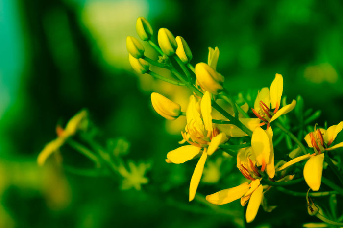 Plant Flower Nature Yellow Green Color Leaf Beauty In Nature Close-up No People Outdoors Summer Defocused Growth Flower Head Day Beauty Freshness