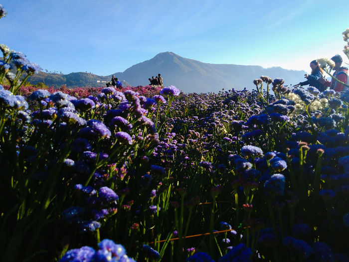 Flower Mountain Tree Sunset Rural Scene Agriculture Field Sky In Bloom Dahlia Lavender Blossom Blooming