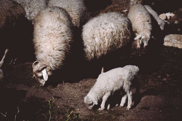 Sheep Animal Animal Themes Mammal Livestock Pets Group Of Animals Vertebrate Domestic Domestic Animals No People Sheep Nature Lamb Field Land High Angle View Agriculture Flock Of Sheep Day Young Animal Outdoors Herbivorous