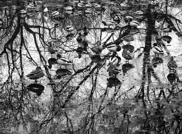 Ducks with Reflections on City Lake at early Winter, Warsaw Poland Tree Water No People Day Nature Outdoors Lake Reflection Tranquility Duck Ducks Autumn Winter Blackandwhite Black And White Black & White