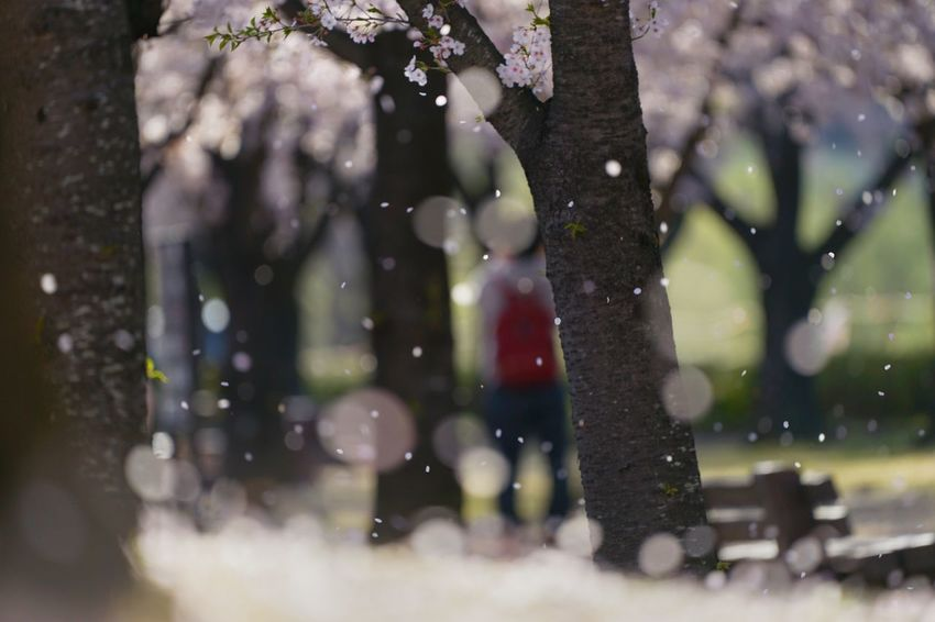 Capture The Moment Uzukiの桜 Petals🌸 Fall Beauty Shower Bokeh Photography Depth Of Field Sakura Cherry Blossoms Springtime Fine Art Fantasy Fragility Nature Uzuki Of The Flower Landscapes Shine Bright Fantastic Majestic Tranquility Full Frame Detail SONY A7ii Sigma EyeEm Best Shots 17_04 Break The Mold Art Is Everywhere EyeEmNewHere