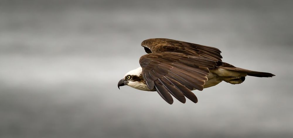 Eye to eye with an Osprey Birdofprey Birds Canon Nature Wildlife