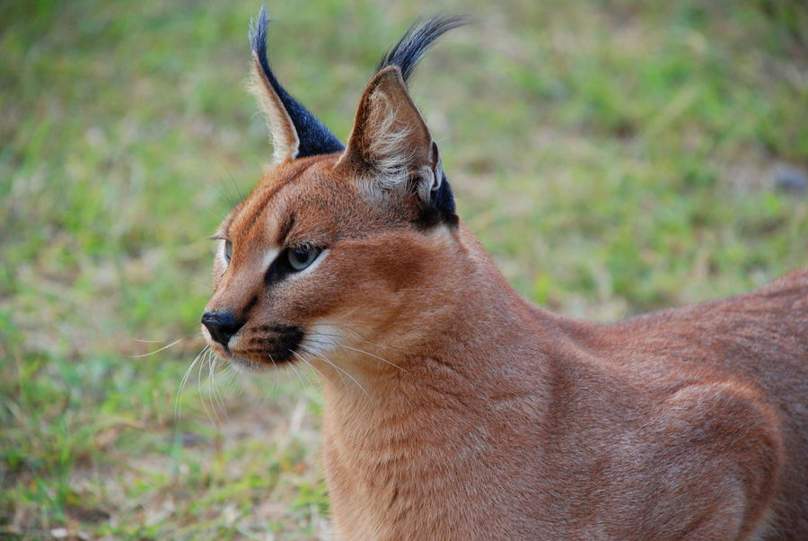 Caracal Africa African Animal Themes Animals In The Wild Caracal Close-up Feline Game Drive Namibia Namibian Nature No People One Animal Predator Safari Travel Travel Photography Travelphotography Wildlife Wildlife Photography