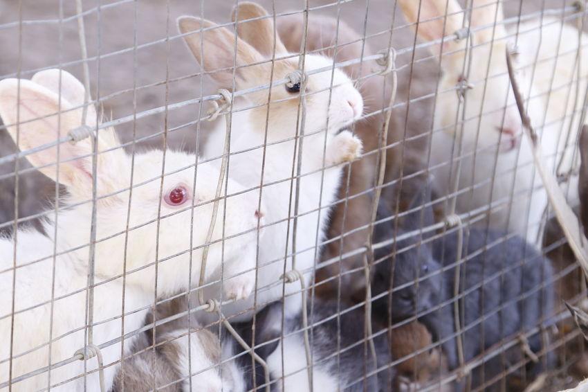 Animal Themes Bunny  Cage Cony Domestic Animals Hare Krishna Rabbit