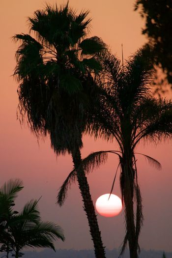 Silhouette coconut palm tree against sky during sunset