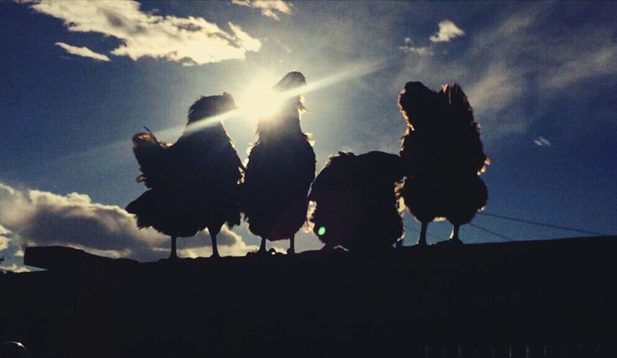 4 Hens And A Sunset Chickens Sunset #sun #clouds #skylovers #sky #nature #beautifulinnature #naturalbeauty #photography #landscape Clouds Blue Sky Chickens On The Fence Pet Portraits