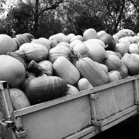Ready 4 halloween♡ Day Food And Drink Large Group Of Objects Food Close-up Freshness Only Me Blackandwhitephotography Traktor Blackandwhite Nature Nanncyspic Only Women Travel Destinations Farm Field Halloween Halloween EyeEm Pumpkin Pumpkins Pumpkin Plant PumpkinPatch🎃 Pumkin Field Pumkin Season