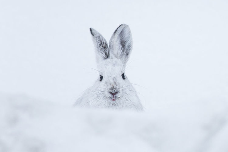 Close-Up Portrait Of Rabbit On Snow Covered Field