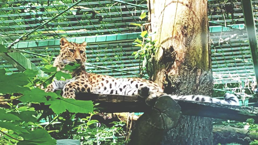 Endangered Animals Leopard Relaxing Relaxing Moments Dangerous Animals Animal Photography Animals In The Wild Animal_collection Green Nature Animal Experiences Animal Themes My Favorite Photo EyeEm Best Shots Nature_collection 43 Golden Moments
