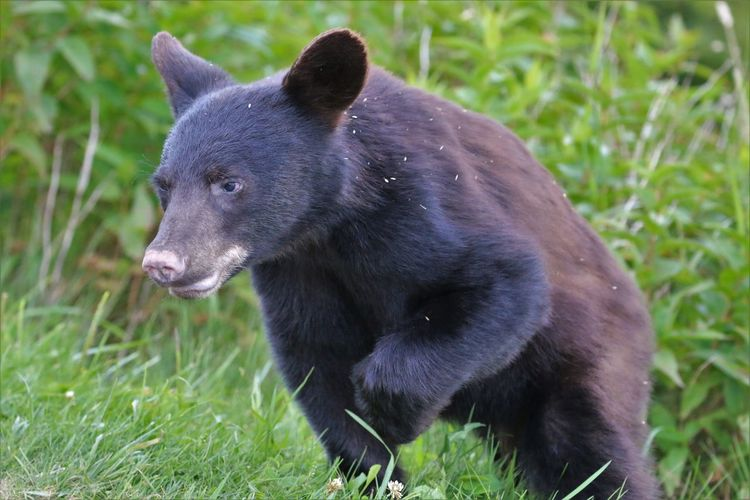 """""""RUN!"""" Black Bear in Great Smokey Mountain National Park Animal Grass Animal Themes One Animal Plant Animal Wildlife Mammal Animals In The Wild Nature Field No People Land Vertebrate Day Outdoors Green Color Black Color Bear Growth Looking Black Bear Great Smokey Mountain National Park"""