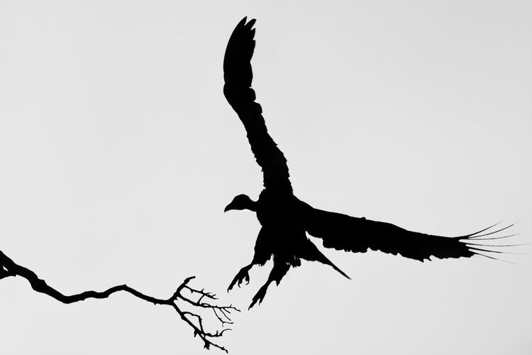 Fly Landing Silhouette Wildlife & Nature Animal Themes Animals In The Wild Bird Blackandwhite Clear Sky Flying Low Angle View Mid-air Motion Nature No People Outdoors Sky Spread Wings Vulture Wildlife