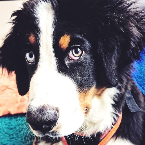 Bernese Mountain Dog 15weeks Baby Bowie Baby Bmd 15weeks P ❤ Animal Theme, Baby, Bmd, 15weeks Pets Portrait Dog Looking At Camera Close-up