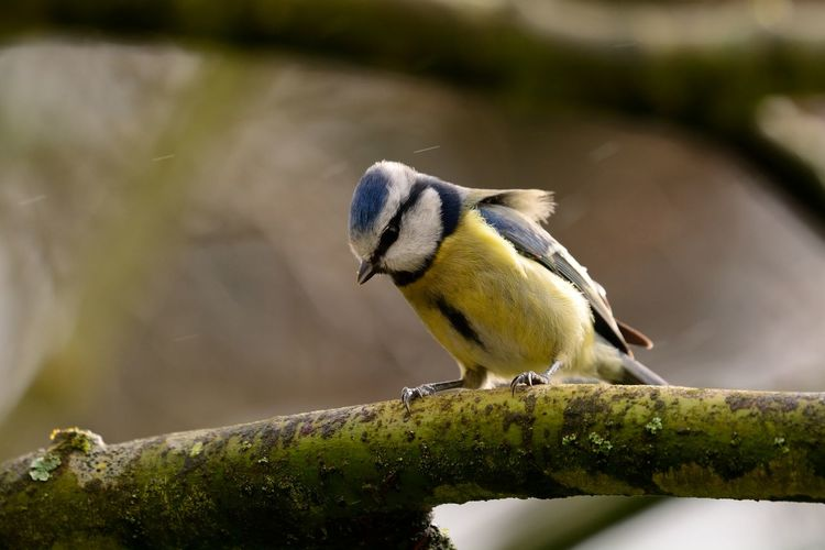Close-up of eurasian blue tit perching on branch