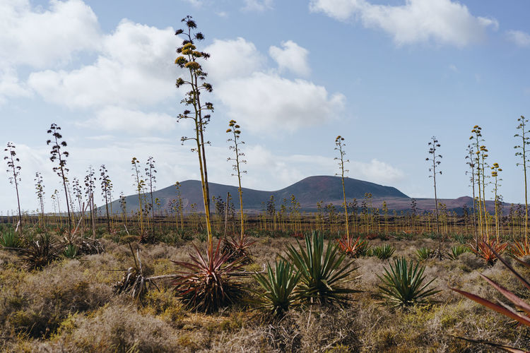 In this shot you can see volcanic landscape with mountains in the background and Agave trees growing in Fuerteventura island. Fuerteventura Landscape Nature SPAIN Agave Europe Sky Beautiful Blue Land Plant Mountain Canary Desert Clouds Travel Outdoor Tourism Destination Stone Dry Environment Green Outdoors View Island Background Vacation Park Natural Canary Islands Old Color Rock Agave Sisalana Canarias Volcanic  Field Vegetation Typical Plantation Mountains Growing Grow Wild Flora Arid Climate Summertime