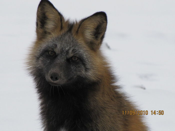 Cross Fox Animal Themes Animal Wildlife Animals In The Wild Close-up Cold Temperature Fox Nature No People One Animal Outdoors Winter