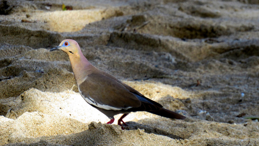 Close-up of a turtle dove walking in the sand Animal Themes Animal Animal Wildlife Bird One Animal Animals In The Wild Vertebrate Land Nature Day Focus On Foreground No People Perching Sand Solid Close-up Beach Outdoors Side View Full Length Turtle Dove
