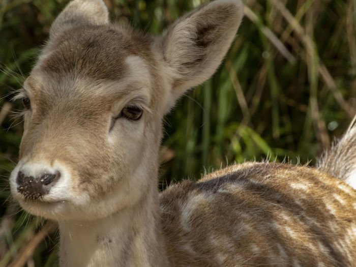 Fawn Deer EyeEm Best Shots EyeEm Nature Lover Animal Animal Body Part Animal Head  Animal Themes Animal Wildlife Animals In The Wild Baby Animal Baby Deer Close-up Day Domestic Domestic Animals Fawn Fawn😍 Focus On Foreground Halls Gap Zoo Mammal Nature One Animal Pets Portrait Vertebrate