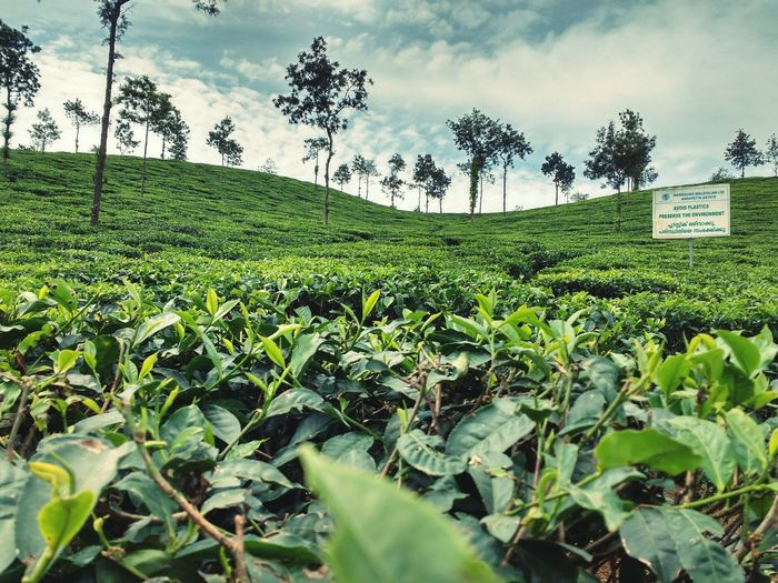 Traveling Nature Crop  Growth Cloud - Sky Field Rural Scene SkyAgriculture Tea Crop No People Day Beauty In Nature Outdoors Freshness Tea Plantation  Nature Tea Crop Tea Plant No People Greenery Green The Week On EyeEm