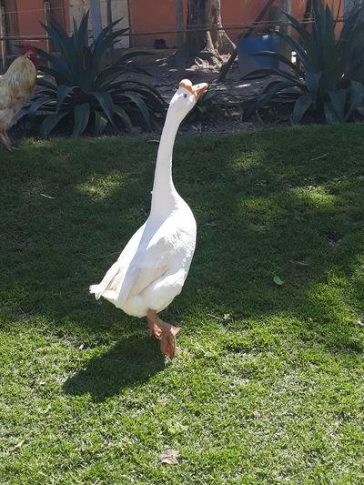 Ganso Bird Swan Tree Shadow Park - Man Made Space Grass Green Color EyeEmNewHere