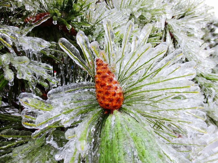 Iced pine cone. Growth Nature No People Plant Beauty In Nature Outdoors Day Green Color Close-up Fragility Needle Winter Ice Cream Ice Ice Storm Pine Tree Pine Pine Cone Ice Covered Tree Ice Covered  Brown Cold Temperature