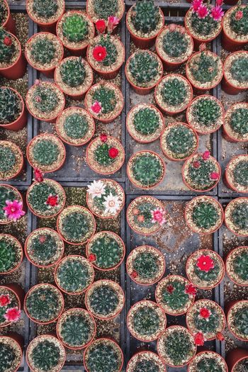 Backgrounds In A Row Cactus Full Frame Plant Growth Potted Plant Day No People Variation Nature Multi Colored Outdoors Arrangement Close-up Greenhouse Top Perspective Repetition Organized