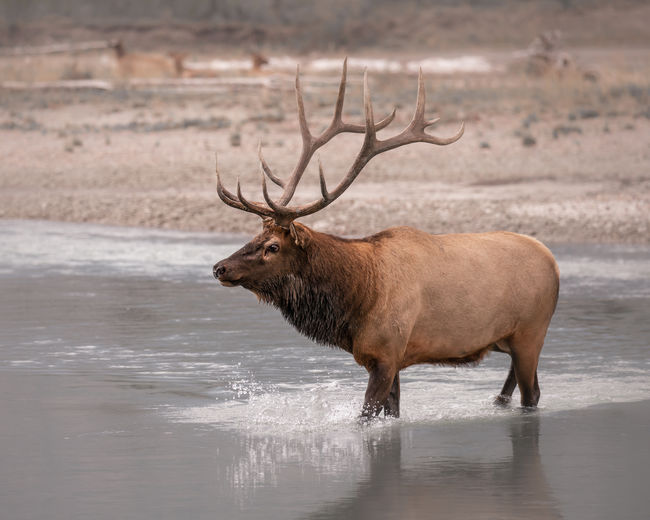 We were lucky enough to watch this Bull Elk or Wapiti lead his herd across the Athabasca River. Amazing experience as we sat there on the bank for almost 30 minutes watching them cross one by one. Jasper National Park, Alberta, Canada Love Life, Love Photography Alberta, Canada Elk Animal Animal Themes Animal Wildlife Animals In The Wild Antler Antlers Buck Day Deer Herbivorous Jasper National Park Lake Mammal Nature No People One Animal Outdoors River Side View Stag Vertebrate Wapiti Water