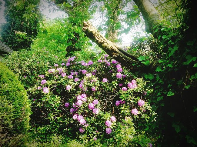 Rhododendron, Kirschbaum, Eichen Plant Growth Beauty In Nature Green Color Day Nature Tree Flowering Plant Land