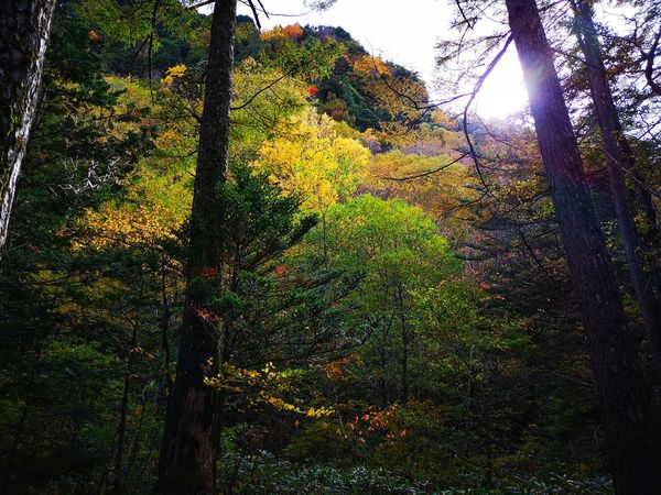 as long as there's light, there's a life. Backlight Autumn colors Autumn Leaves Autumn Yellow Leaves Light And Shadow Forest Wood Woodland Walk Walking Trail Kamikochi Hiking Trail Tree Sky Petal