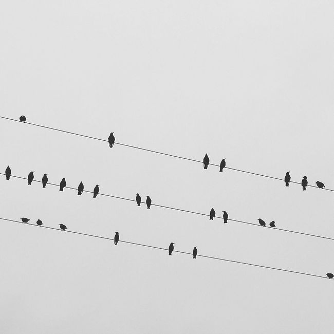 Birds Birds On A Wire Bird On A Wire Flock Of Birds Flock Black And White