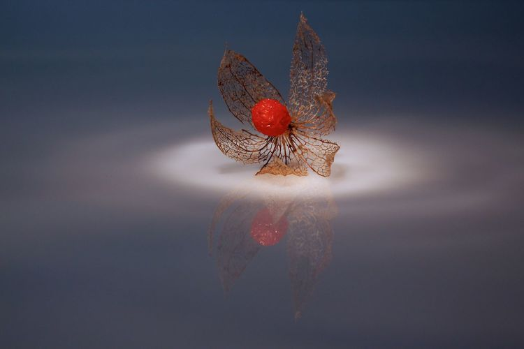 Winter cherry floating on water