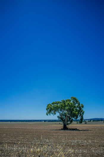 Lazy afternoon landscapes in regional victoria Afternoon Landscape Australian Australian Outback Beautiful Country Big Sky Blue Skys Countryside Farmland Fieldscape Fuji Gum Tree Landscape Landscape #Nature #photography X100