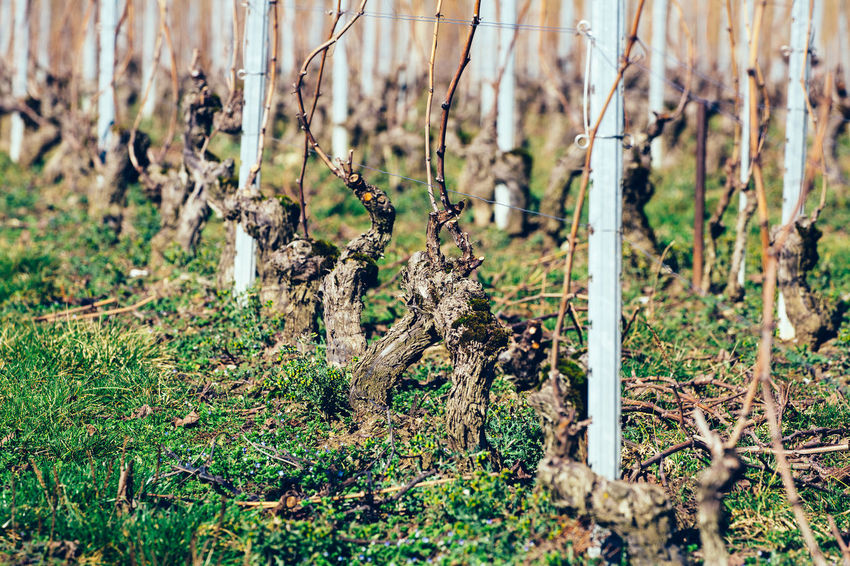 Grape vines freshly pruned in a vineyard. Agriculture Plant Pruning Aligned Close-up Cultivated Day Grape Grass Growth Landscape Nature Outdoors Plant Pruned Rural Scene Season  Tree Trim Vine Vineyard