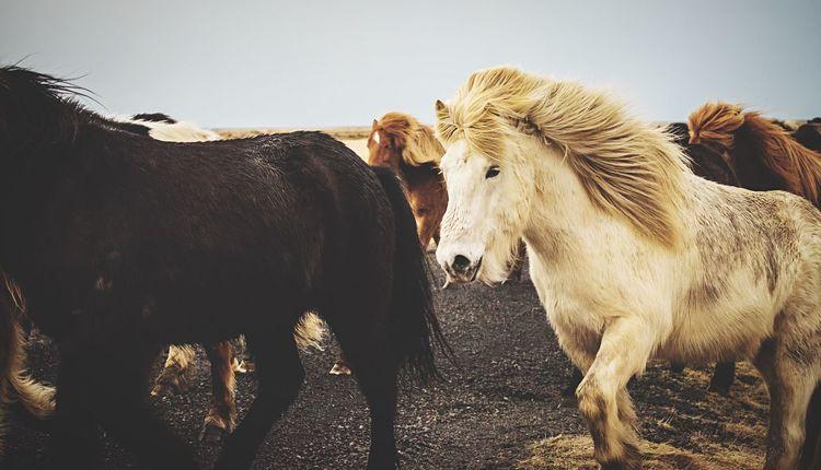 Iceland horses. Fujifilm 50140 FUJIFILM X-T1 Hair Horse Mammal Animal Themes Animal Group Of Animals Domestic Animals Vertebrate Domestic Pets Animal Wildlife Livestock Two Animals Nature No People Day Animal Body Part Outdoors Standing Herbivorous EyeEmNewHere