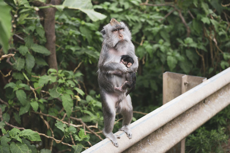 Monkey with baby sitting on railing against trees in bali.