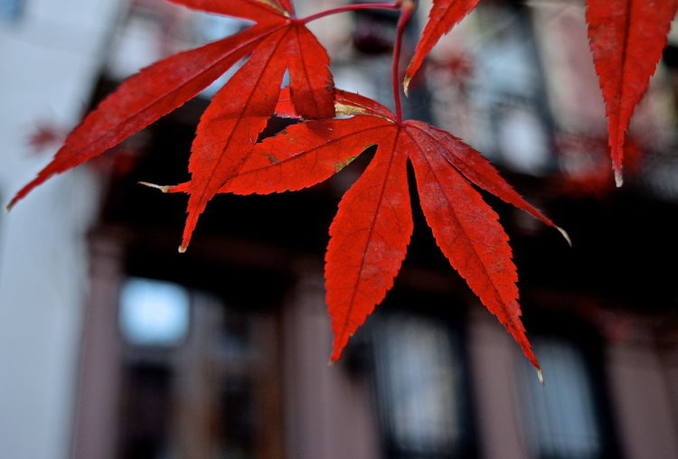 Close-Up Of Maple Leaves Against Building