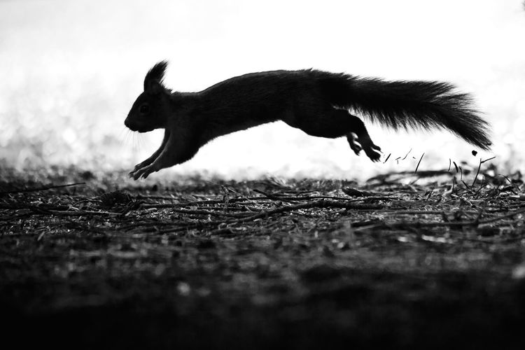 Squirrel silhouette Faenza Italy Nikon Squirrel Animal Animal Themes One Animal Mammal Land Domestic Animals Running Pets Nature Motion Selective Focus Outdoors