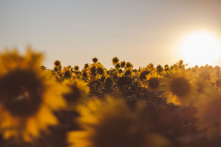Outdoors Outdoor Tranquility Tranquil Scene Tranquil Plant Growth Beauty In Nature Flower Sky Yellow Flowering Plant Freshness Nature No People Field Sunlight Land Selective Focus Fragility Sunset Sun Flower Head Vulnerability  Outdoors Sunflower Autumn Mood