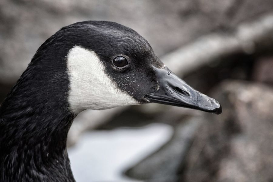 Råstasjön 2017 April Niklas Solna Showcase April 2017 Sweden Bird Close-up Animal Themes Animals In The Wild Focus On Foreground Animal Wildlife Animal Body Part One Animal Nature Outdoors Canada Geese Geese Welcome To Black EyeEm Selects The Week On EyeEm Perspectives On Nature