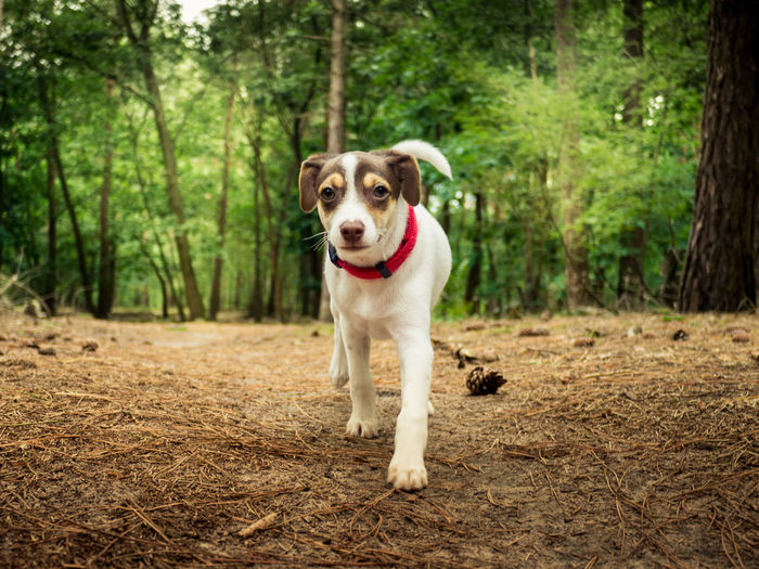 puppy walking towards camera in the woods Terrier Puppy Collar Woods Low Angle Tree Pets Portrait Dog Looking At Camera Forest
