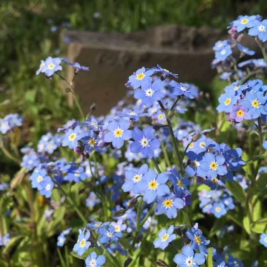 Flower Fragility Nature Plant Day Beauty In Nature Growth Freshness Outdoors No People Petal Blooming Close-up Flower Head Forget Me Not