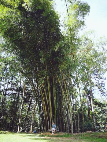 by the bamboo Philippines Asian  Davao Summer ☀ Summertime Summer Tree Park - Man Made Space Sky Grass Green Color Bamboo Grove Park Lush - Description Bamboo - Plant Green Greenery Lush Foliage