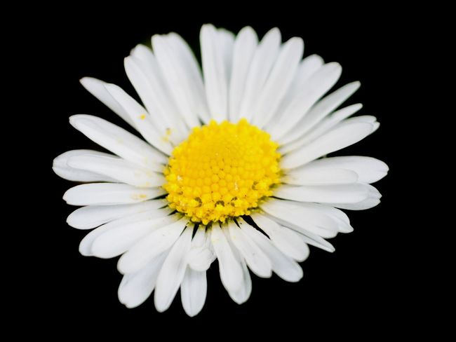 Daisy Daisy Macro Flower Head Black Background Flower Studio Shot Yellow Beauty Petal Stamen Exoticism Pollen
